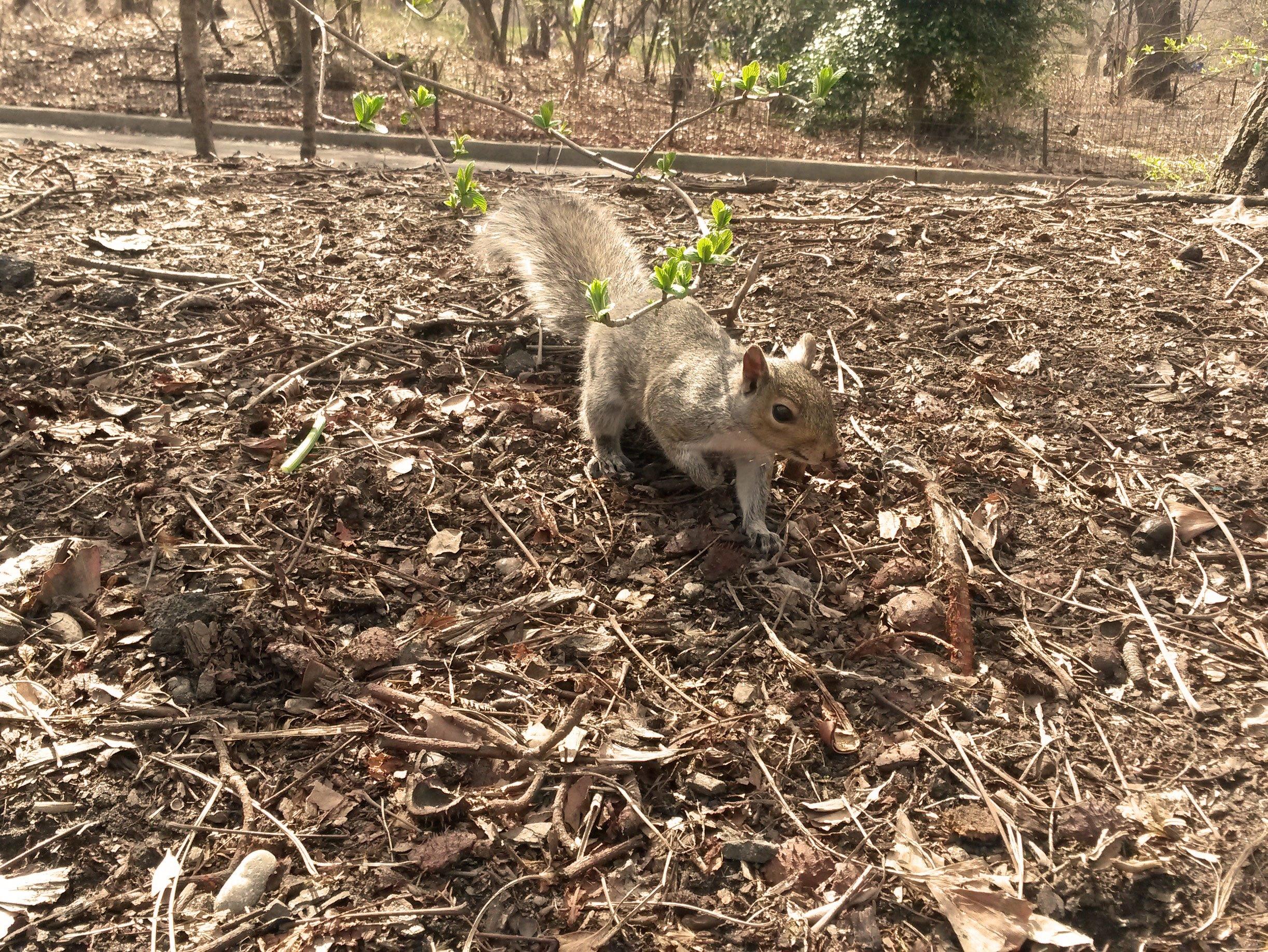 Eichhörnchen-im-Centra-Park-von-New-York